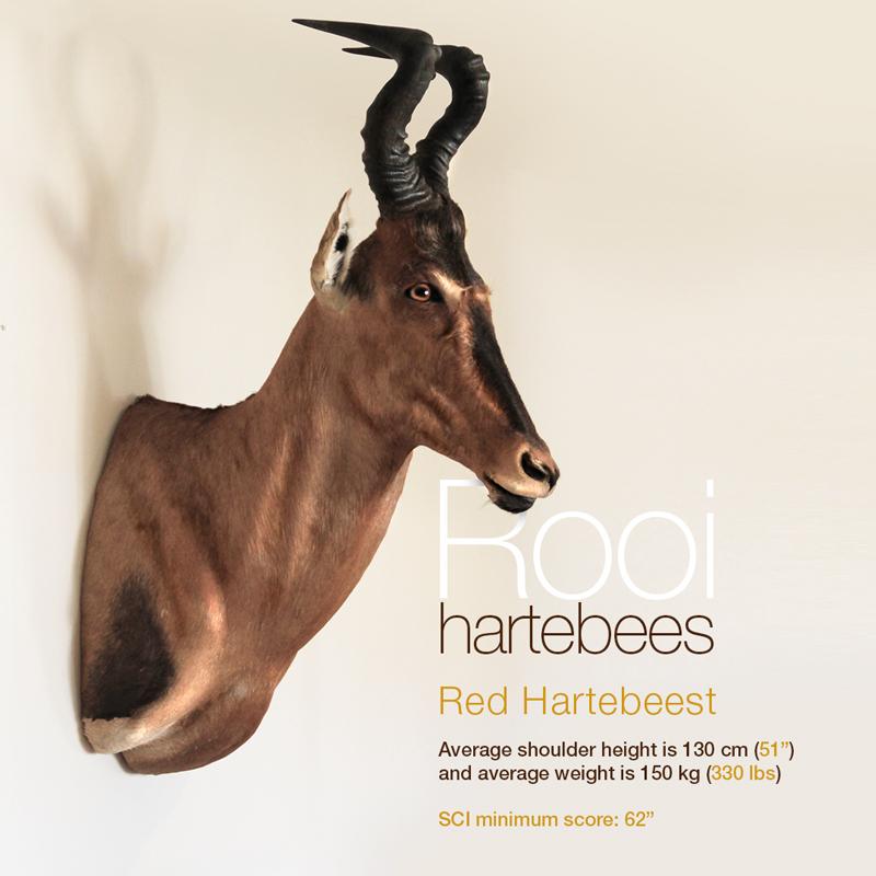 Rooi hartebees - Red Hartebeest