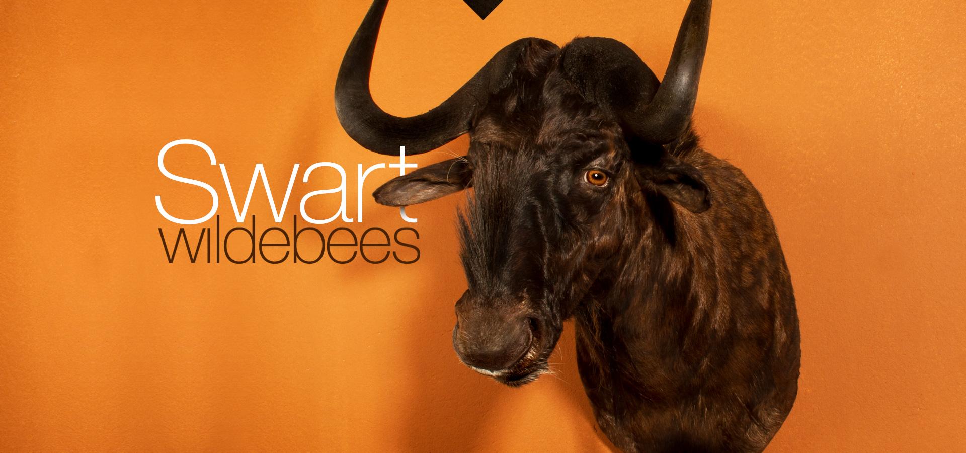 Swart wildebees - Black Wildebeest